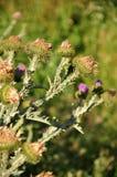 strumariumxanthium Royaltyfria Bilder
