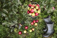 Strumenti del giardiniere e raccolto della mela Immagine Stock Libera da Diritti