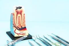 Strumenti dentari ed anatomia del dente Fotografie Stock Libere da Diritti