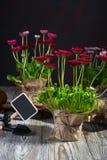 Strumenti di giardinaggio e fiori della molla della margherita pronti per la piantatura sul fondo di legno scuro fotografia stock libera da diritti