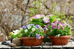 Strumenti di giardinaggio e fiori variopinti della pansé immagini stock