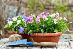 Strumenti di giardinaggio e fiori variopinti della pansé immagine stock libera da diritti