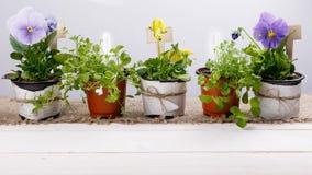 Strumenti e fiori di giardinaggio in vasi sulla tavola di legno bianca Balzi nei precedenti di concetto del giardino con lo spazi Immagine Stock
