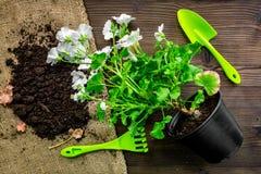 strumenti e terra di giardino verdi per la piantatura dei fiori sulla vista superiore del fondo di legno della tavola Immagini Stock