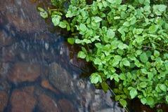 strumienia watercress obrazy stock