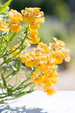 Strumosa bonito de Nemesia da flor do jardim Fotografia de Stock Royalty Free