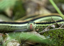 Strumpfband-Schlange Stockfoto