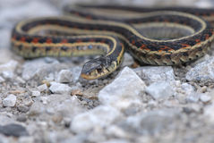 Strumpfband-Schlange Stockbilder