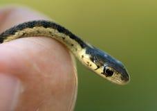 Strumpfband-Schlange in der Hand stockbild