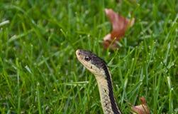 Strumpfband-Schlange im Gras Lizenzfreies Stockfoto