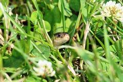Strumpfband-Schlange im Gras Stockfotos