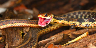 Strumpfband-Schlange (Thamnophis sirtalis) Lizenzfreie Stockfotografie