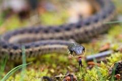 Strumpfband-Schlangen-Moos Stockfotografie