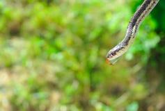 Strumpfbandschlange Stockbild