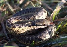 Strumpfbandschlange im Gras Lizenzfreies Stockfoto