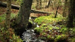 Strumyk w borealnym lesie zdjęcie wideo