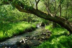 Strumyk w lesie, bended drzewo nad nim Zdjęcia Stock