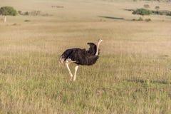 Strusi odprowadzenie na sawannie w Afryka safari Obrazy Royalty Free
