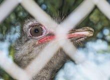 Strusi portreta strusi zako?czenie Ciekawy emu na gospodarstwie rolnym Dumna strusia twarz ?mieszny kosmaty emu zbli?enie Przyrod zdjęcia royalty free