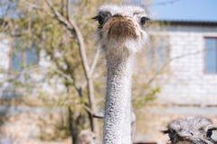 Strusi portreta strusi zako?czenie Ciekawy emu na gospodarstwie rolnym Dumny dopatrywanie stru? ?mieszny kosmaty emu zbli?enie Pr zdjęcie royalty free