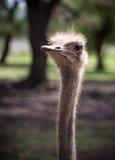 he strusi Struś lub Pospolity Struś, gatunkiem jesteśmy jeden lub dwa wielcy ptaki rodzimi Afryka Obrazy Stock