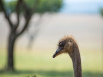 he strusi Struś lub Pospolity Struś, gatunkiem jesteśmy jeden lub dwa wielcy ptaki rodzimi Afryka Zdjęcie Royalty Free