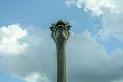 he strusi Struś lub Pospolity Struś, gatunkiem jesteśmy jeden lub dwa wielcy ptaki rodzimi Afryka Zdjęcie Stock