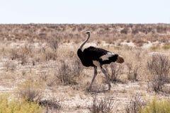 Strusi Struthio camelus w Kgalagadi, Południowa Afryka Zdjęcia Royalty Free