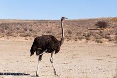 Strusi Struthio camelus w Kgalagadi, Południowa Afryka Obrazy Stock