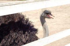 Strusia gospodarstwo rolne, strusie zwierzęta Zdjęcia Royalty Free