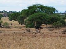 Strusia Ngorongoro safari safari - Tarangiri w Afryka Zdjęcia Stock