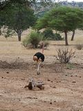 Strusia Ngorongoro safari safari - Tarangiri w Afryka Obraz Stock