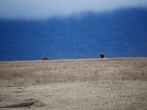 Strusia Ngorongoro safari safari - Tarangiri w Afryka Obrazy Stock