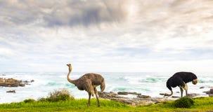 Strusia para Obok oceanu Zdjęcia Royalty Free