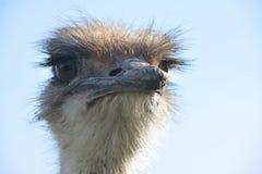 Strusia ptak głowa dla pojęcie projekta Zdjęcia Stock