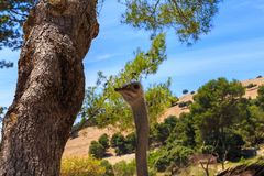 Strusia ptak g?owa i szyja frontowy portret w parku obraz royalty free