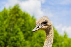 Strusia ptak g?owa, szyja i zdjęcie stock