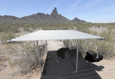 Strusia rodzina, koguta Cogburn Strusi rancho, Picacho, Arizo Obrazy Stock