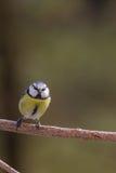 Strusia twarz gniewny bird Zdjęcia Royalty Free