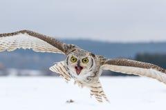 Strusia twarz gniewny bird obraz stock