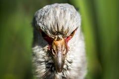 Strusia twarz gniewny bird zdjęcia stock