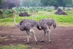 Strusie w otwartej równinie w Mauritius parku, drzewa obraz royalty free