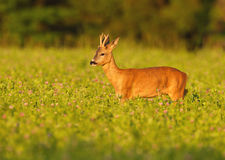 The strut. Young roe buck out strutting in the late evening light Stock Image