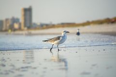 Strut Your Stuff - Confident Seagull. Seagull confidently walking through the sand and water with a skyline behind it stock photography