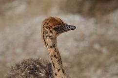 Struthio camelus baby Royalty Free Stock Images
