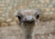 Struthio camelus. Close up of Ostrich or Common Ostrich Struthio camelus is one  of large flightless birds native to Africa Stock Image