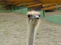 Struthio camelus Royalty Free Stock Images