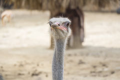 Struthio camelus head, Ostrich head Stock Images