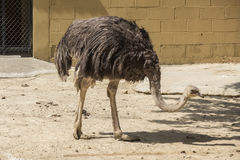 Struthio camelus head, Ostrich head Royalty Free Stock Image