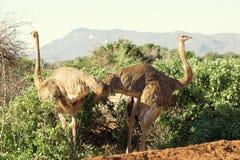 struthio ostrichs camelus женский Стоковые Изображения